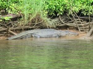 Crocodiles Queensland